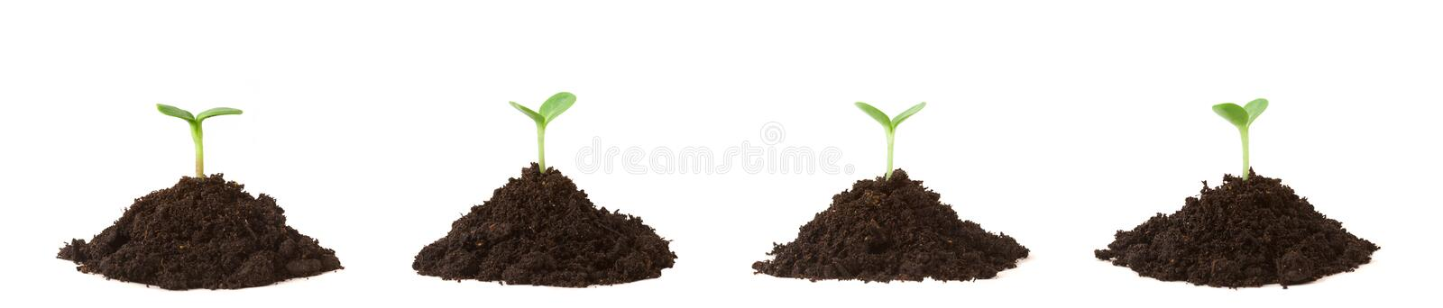Four Plants on Dirt Piles. Four seedlings growing in piles of dirt, white background royalty free stock photo