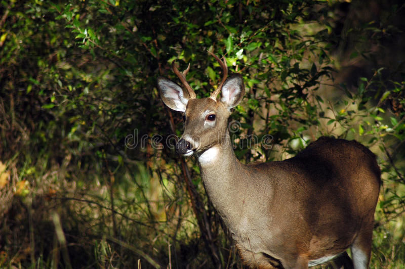 Four Point Buck royalty free stock image