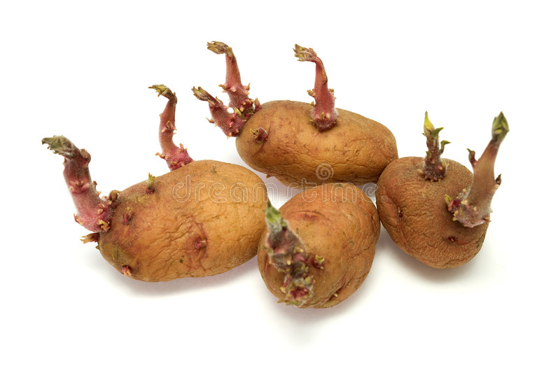 Four progrown tubers of a potato. On a white background royalty free stock photo