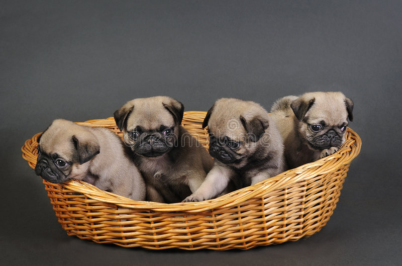 Download Four pug puppies. stock image. Image of companion, doggy - 8423907