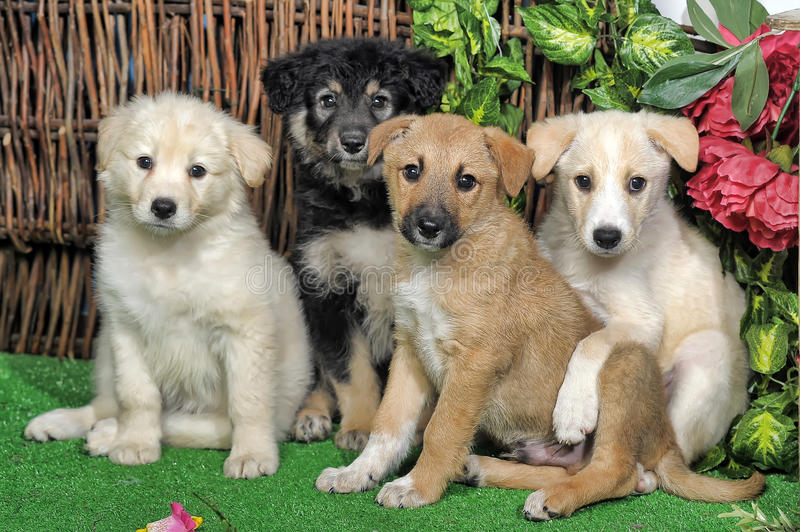 Four puppies royalty free stock images