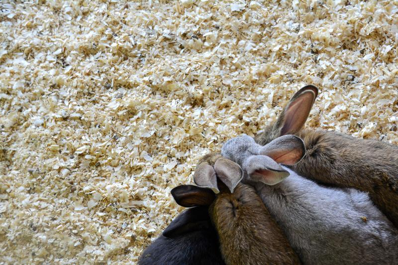 Four rabbits in sawdust. View from above. Natural background. Copy space stock photography