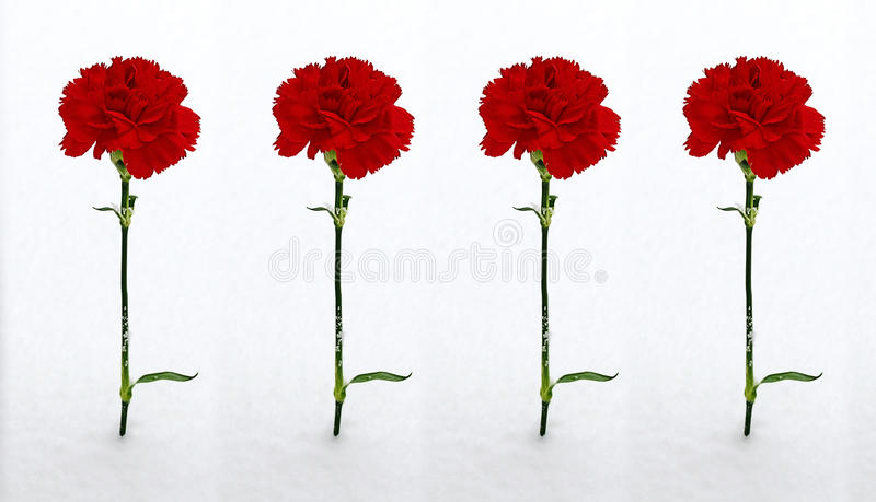 Four red carnations in the snow stock photo
