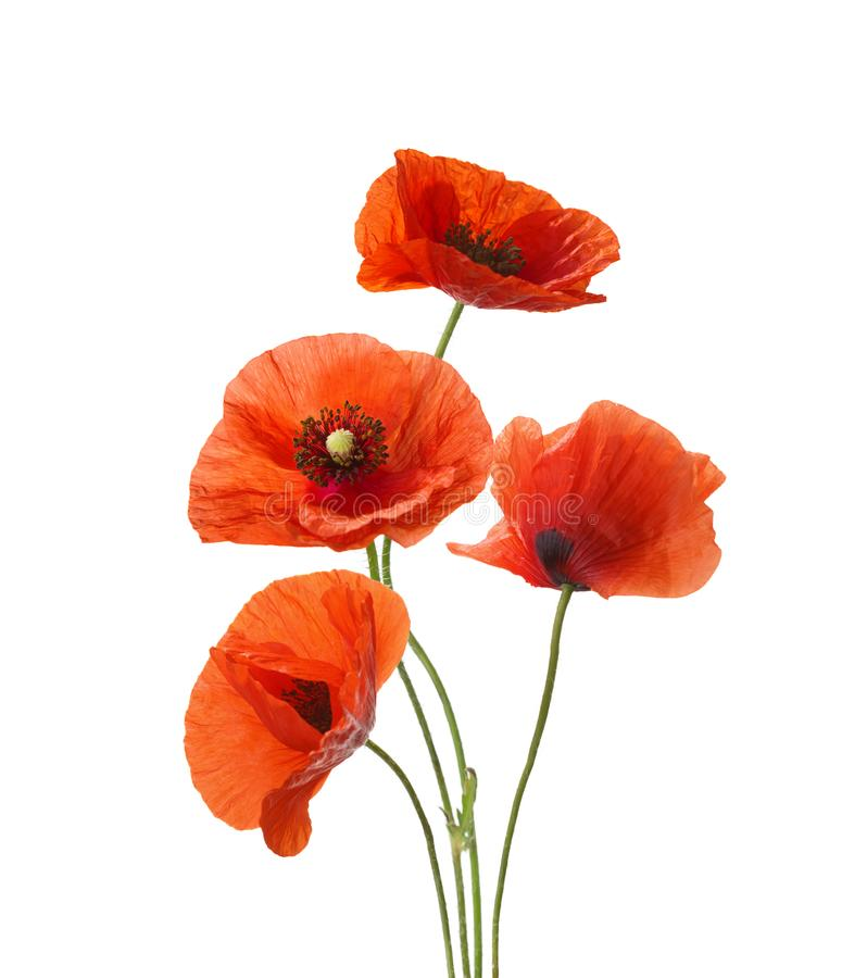 Four red poppies isolated on white background.  stock photo