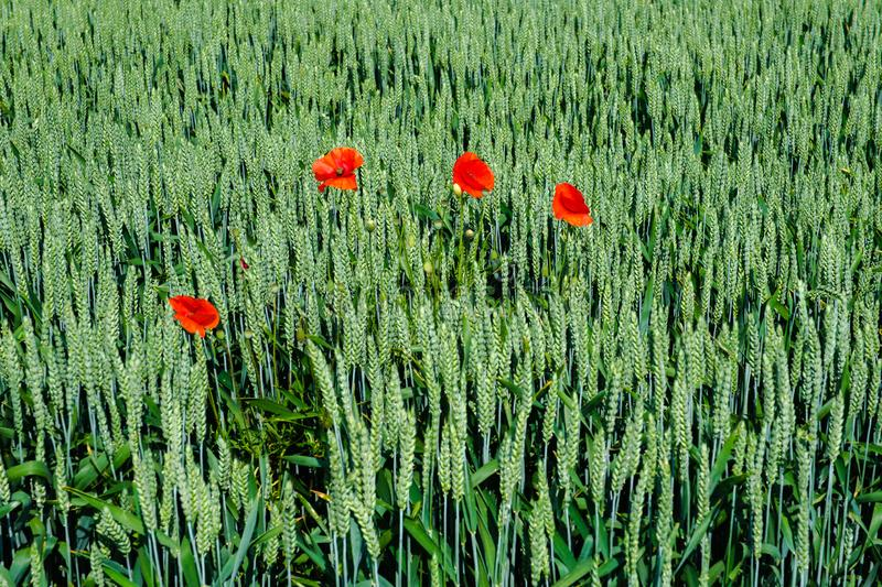 Four red poppies in the middle of a green wheat field stock images