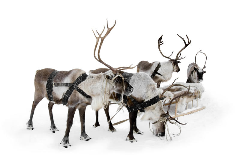 Four reindeer stock images