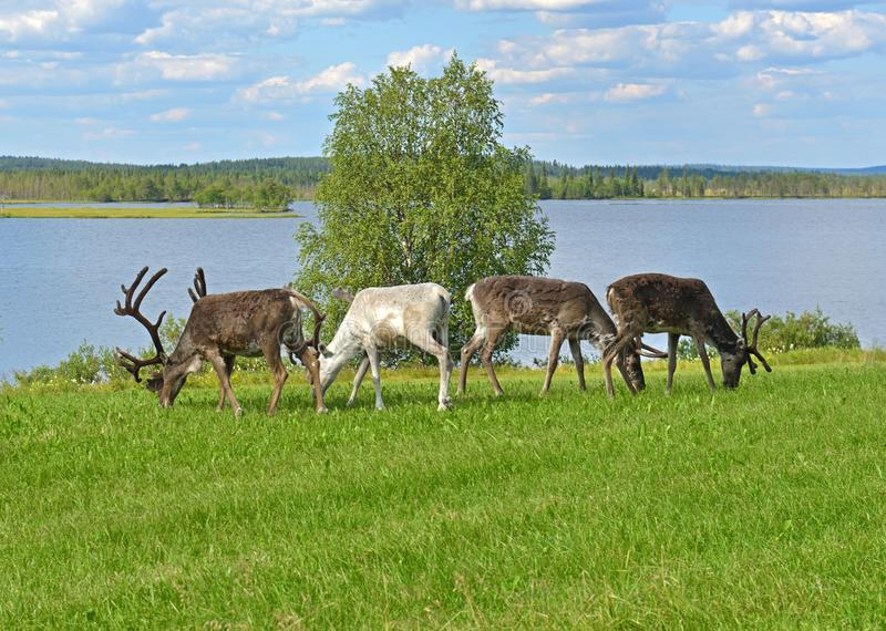 Four reindeer grazing on green meadow on shore of northern lake. Finnish Lapland royalty free stock photography