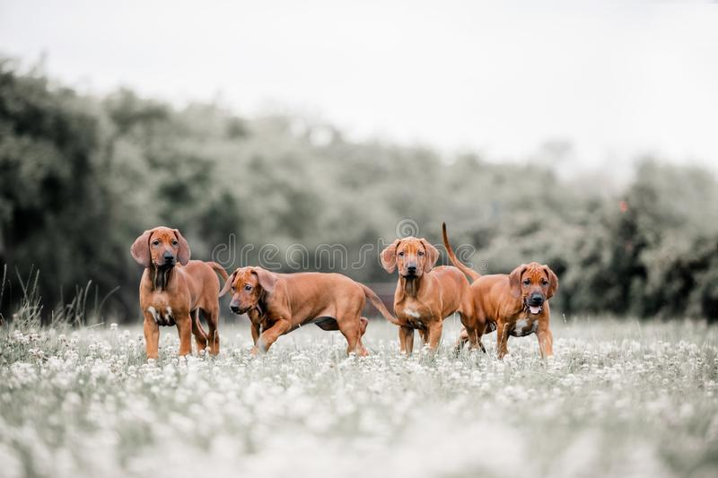 Four Rhodesian Ridgeback dogs on a path in the forest royalty free stock photos