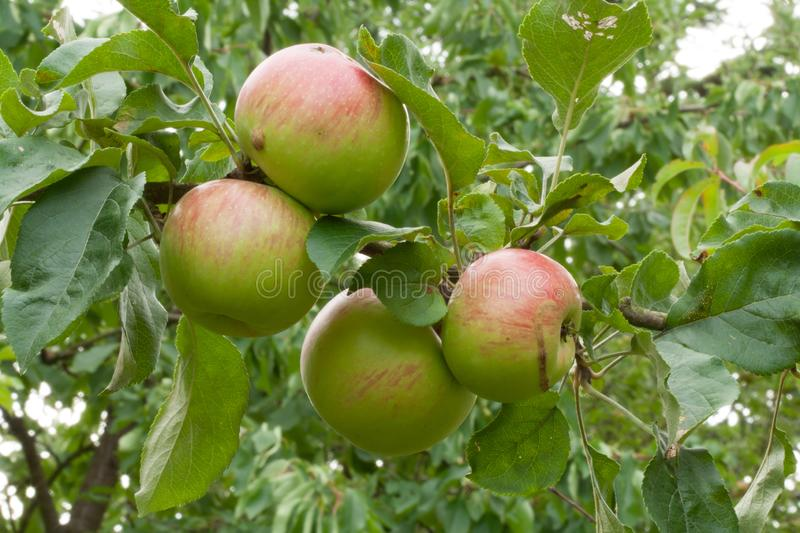 Four ripe apple fruits on the tree stock images