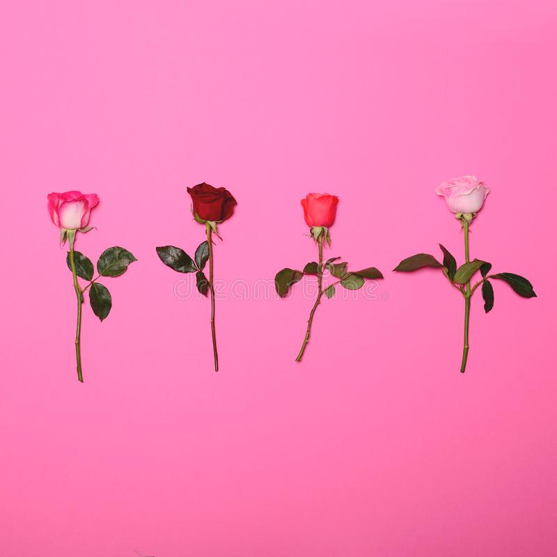 Four roses on pastel pink background - Trendy minimal flat lay concept stock images