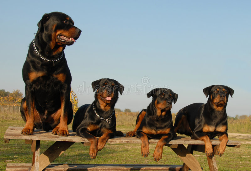 Download Four rottweilers stock photo. Image of attack, guard, collar - 3543582