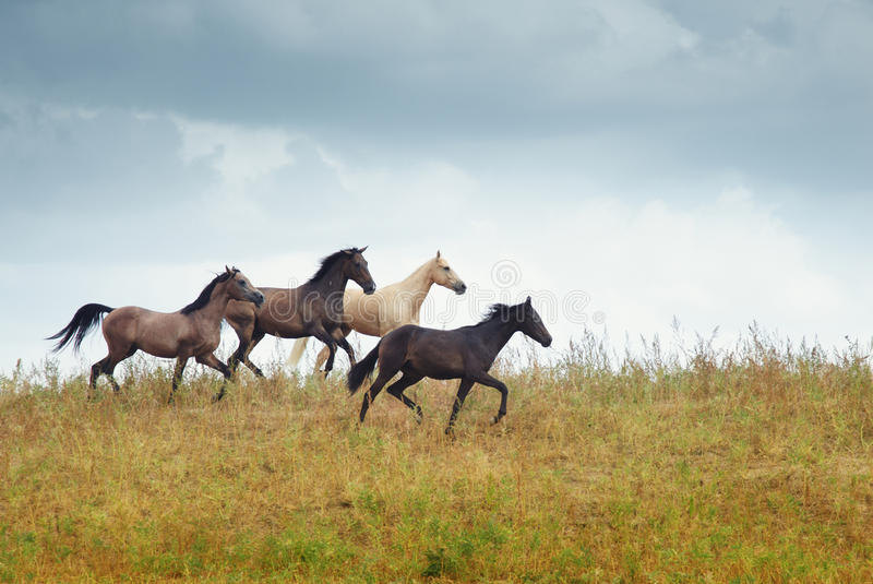 Four running horses in the steppe. Four horses running in the steppe. Kazakhstan. Middle Asia. Natural light and colors royalty free stock photography