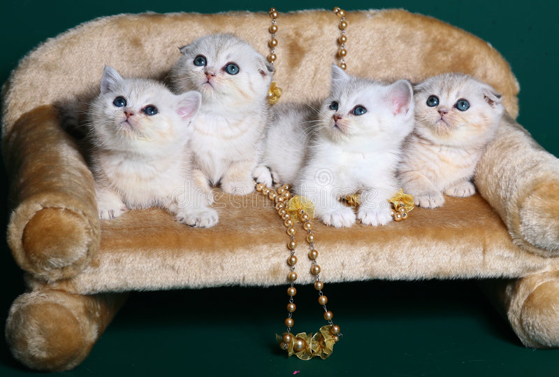 Four Scottish Shorthair kittens. stock photos