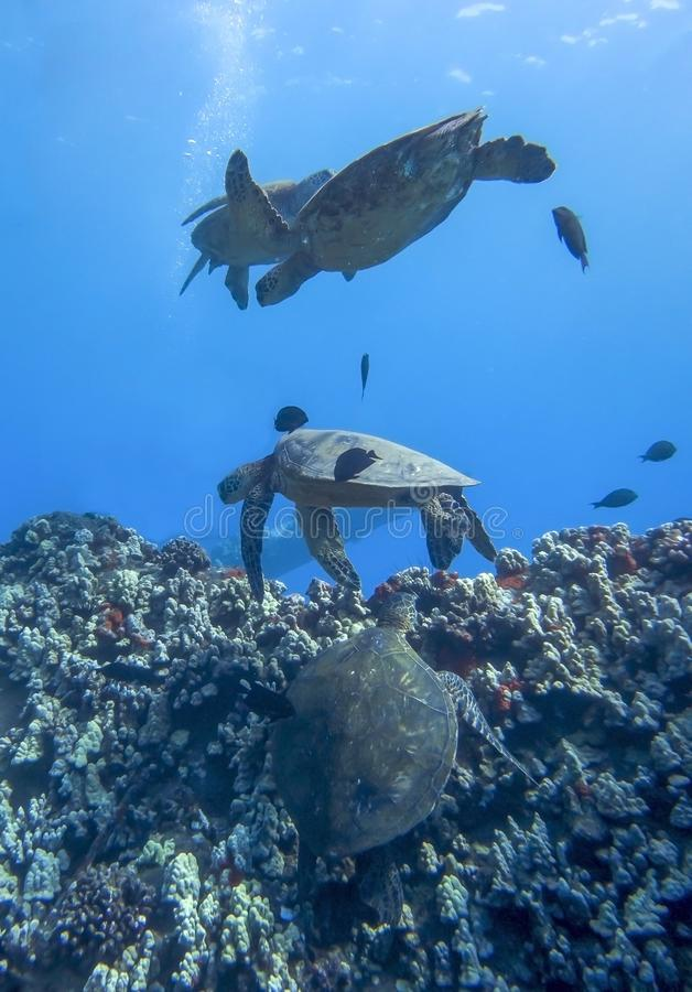 Four Sea Turtles and Fish Swimming over Reef in Deep Blue royalty free stock photography