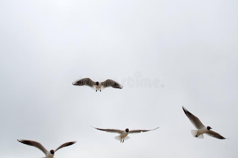 Four seagulls in flight stock photos