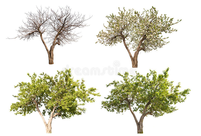 Four seasons apple tree isolated on white. Background royalty free stock images
