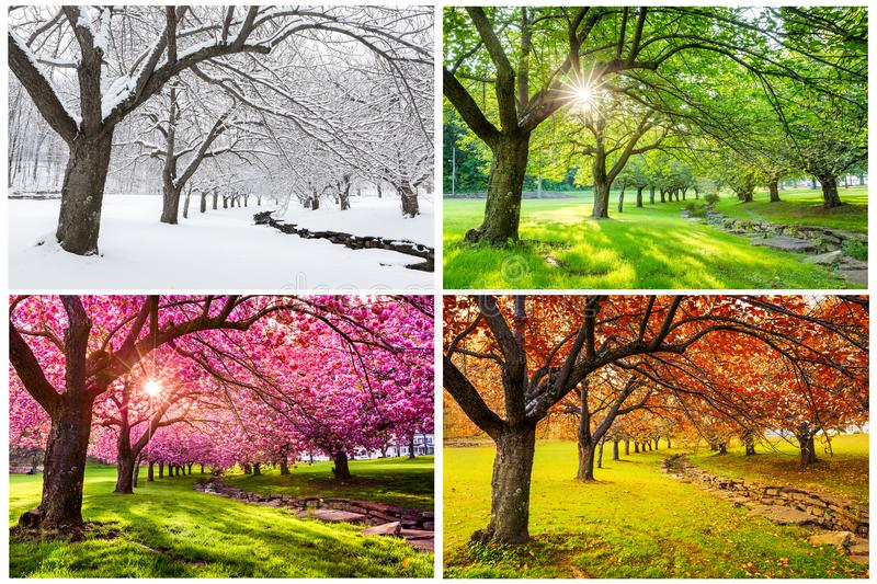 Four seasons with japanese cherry trees stock photo