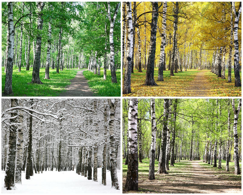 Four seasons of row birch trees royalty free stock image