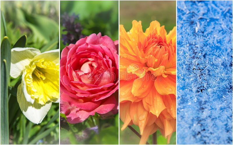 Four seasons: Spring, summer, autumn and winter. Daffodil english rose dahlia frozen royalty free stock photography