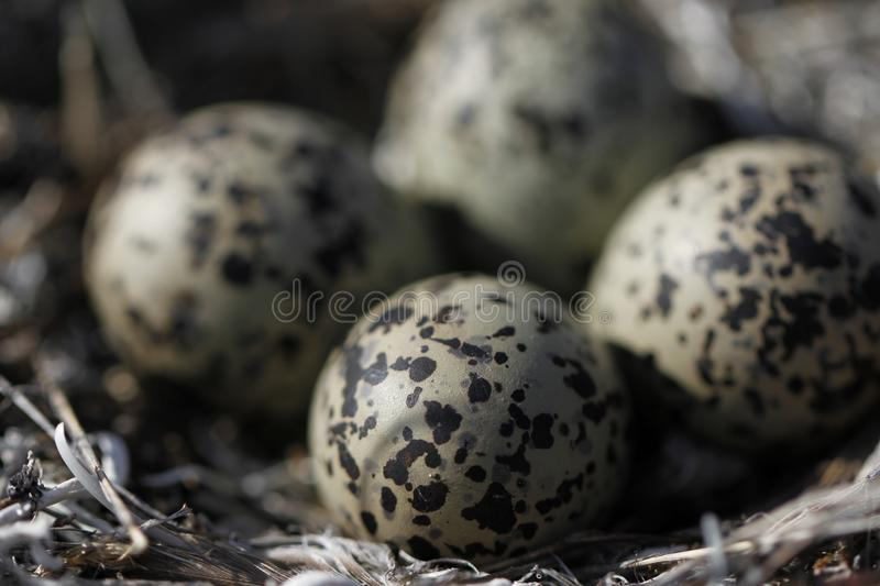 Four Semipalmated Plover eggs in a nest surrounded by twigs near Arviat. Four Semipalmated Plover Charadrius semipalmatus eggs in a nest surrounded by twigs near royalty free stock image