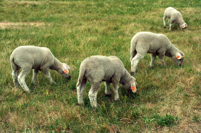 Four sheep stock photo