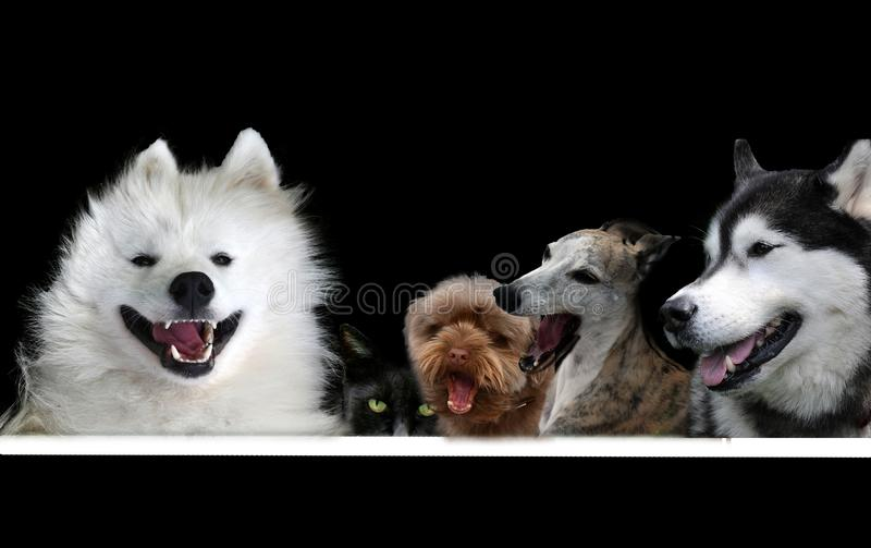 Four singing dogs and one  hidden cat on black. Enthusiastically singing dogs  bringing  birthday congratulations or support with their  song the performance stock images