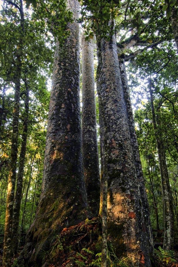 Four sisters Kauri trees, Northland, New Zealand. Four sisters Kauri trees, Waipoua Forest, Northland New Zealand royalty free stock photo