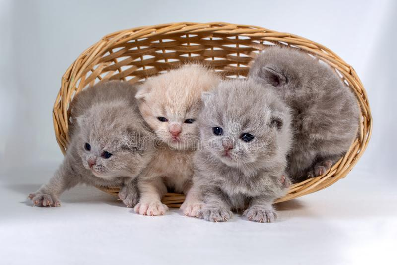 Four small british kittens sit in a wicker basket.  on white background stock photos