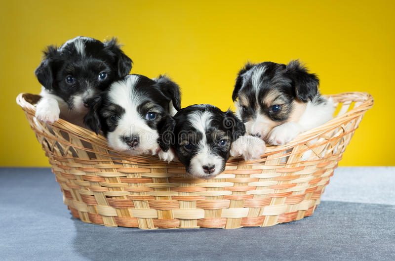 Four small puppy in a basket stock photos