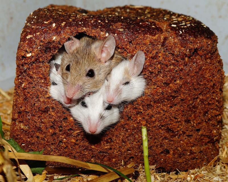 Four Small White Brown Mice Poking Their Heads Out From A Bread Loaf Free Public Domain Cc0 Image