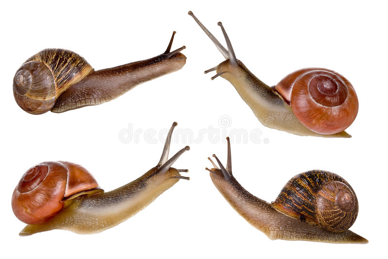Four snails. Combi image of four isolated garden snails royalty free stock photos