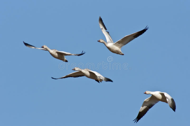 Download Four Snow Geese In Flight stock image. Image of beautiful - 22982909