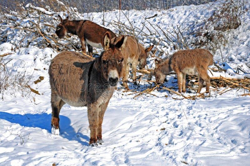 Four snowy donkeys stock photo