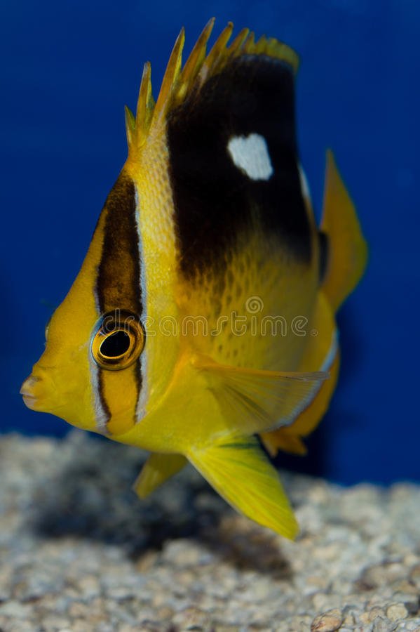 Four Spot Butterflyfish. The Four-spotted Butterflyfish or fourspot butterflyfish Chaetodon quadrimaculatus is a species of butterflyfish family Chaetodontidae stock photography
