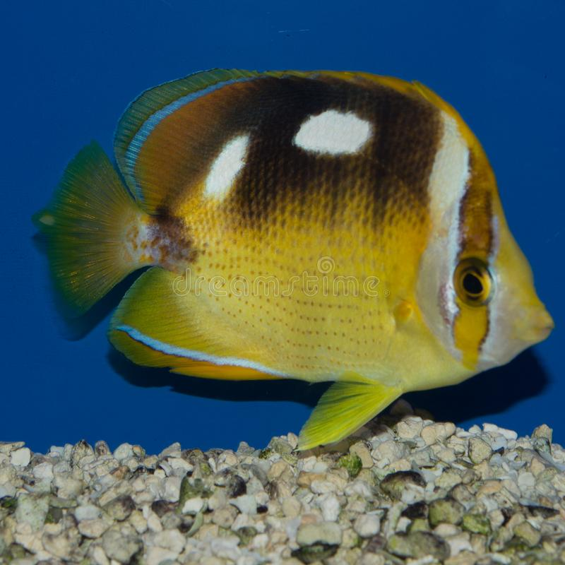 Four Spot Butterflyfish. The four-spotted butterflyfish or fourspot butterflyfish Chaetodon quadrimaculatus is a species of butterflyfish family Chaetodontidae stock images