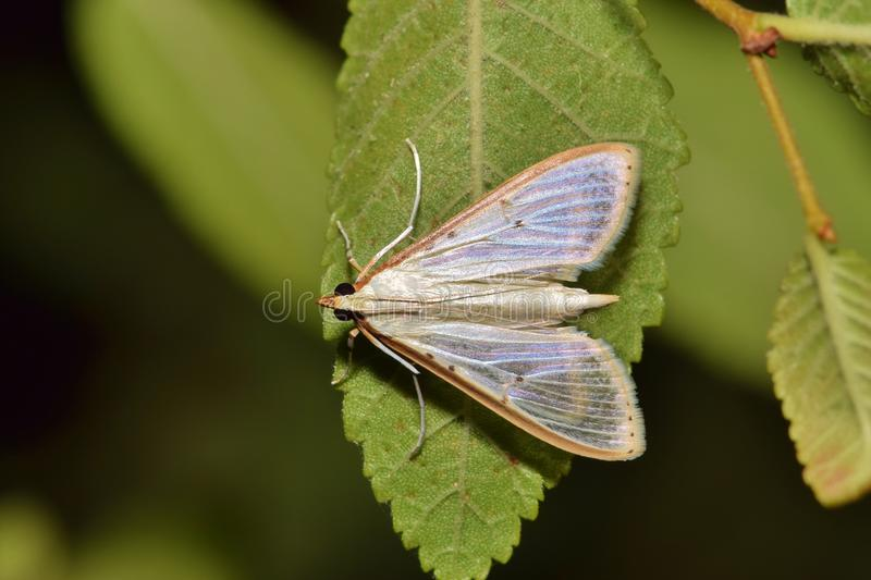 A Four-spotted Palpita Moth on a leaf. Four-spotted Palpita Moths (Palpita quadristigmalis) are commonly seen in the US during the warmer months stock photo