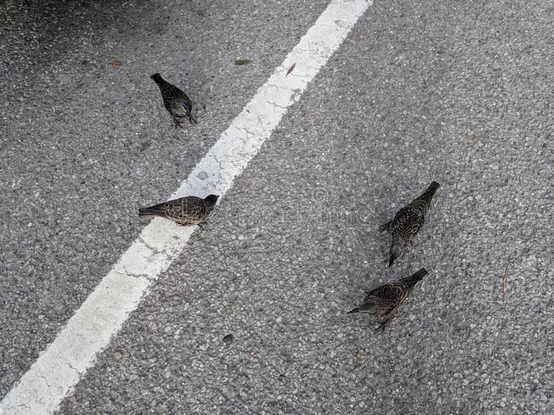 Starlings in the road. Four starlings from above hopping around in the middle if a car park with white riad marking royalty free stock photo