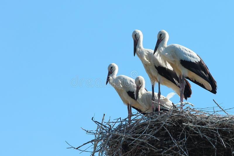 Four storks in the nest stock photography
