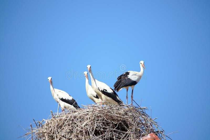Four storks in nest , looking to camera royalty free stock images