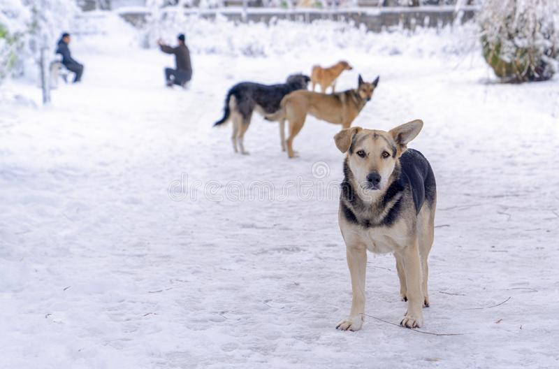 Four stray dogs in winter and human take photos in background. Concept of everybody loves to have snow picture royalty free stock images