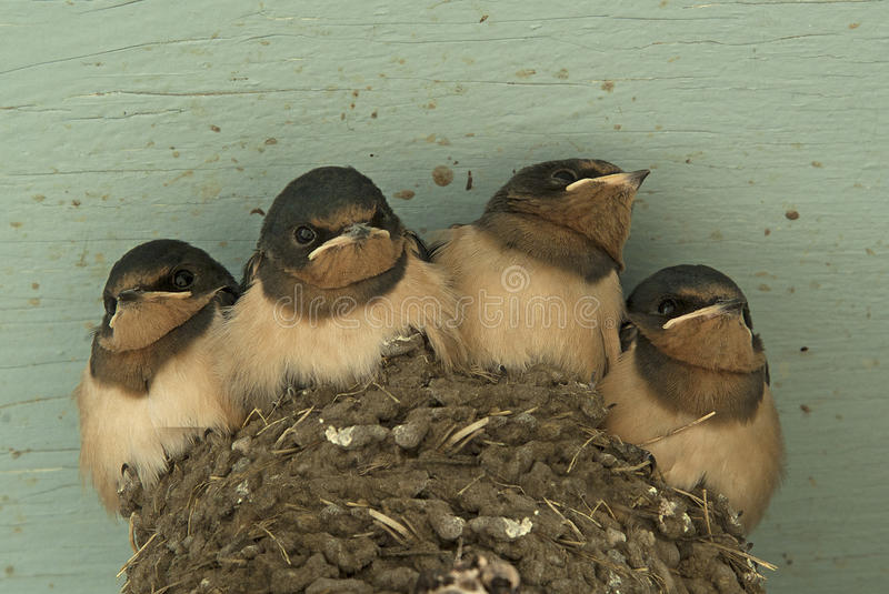 Four Swallows royalty free stock images