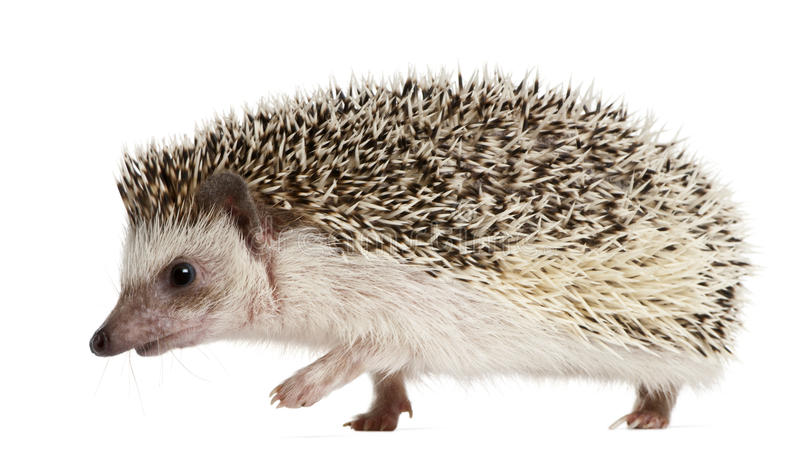 Four-toed Hedgehog, Atelerix albiventris royalty free stock photos