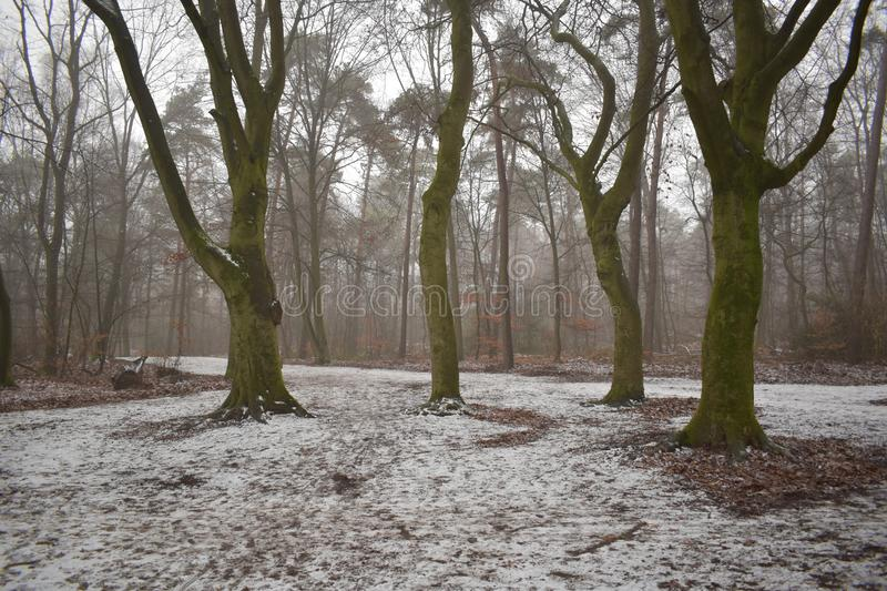Four trees in a snowy forest royalty free stock photography
