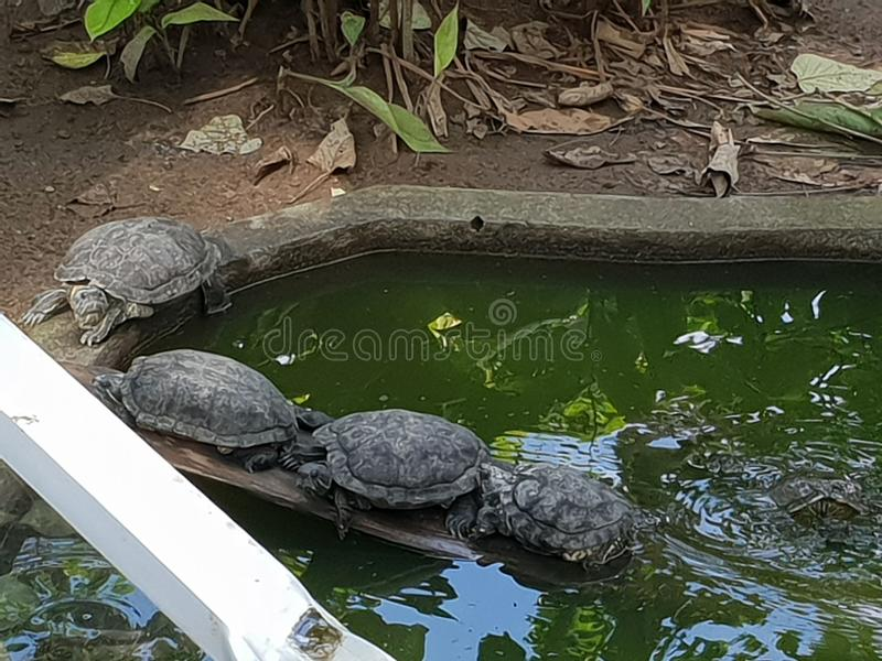 Four turtles falling jn line in a pond stock photo