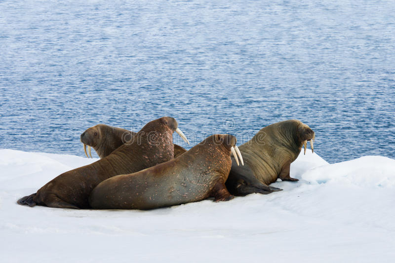 Four Walrus Lying on the Snow stock image