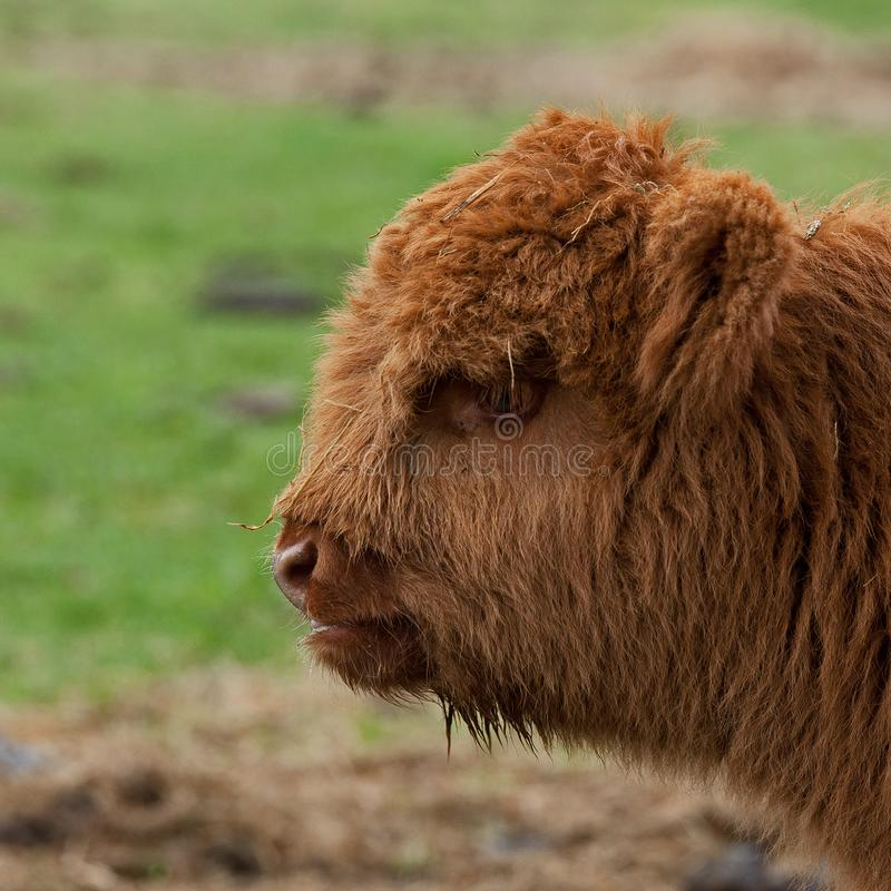 Four week calf of highland cattle. Three week old Highland cattle or kyloe in Sweden are an ancient Scottish breed of beef cattle with long horns and long wavy royalty free stock photos