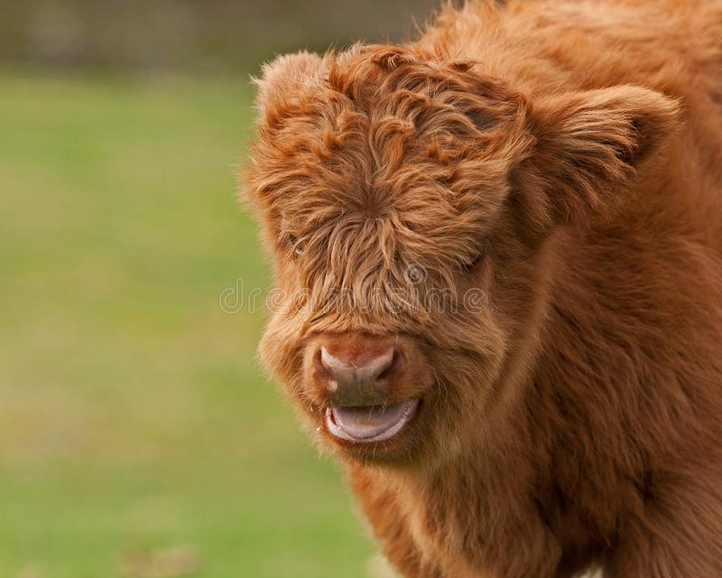 Four week calf of highland cattle. Three week old Highland cattle or kyloe in Sweden are an ancient Scottish breed of beef cattle with long horns and long wavy royalty free stock photo