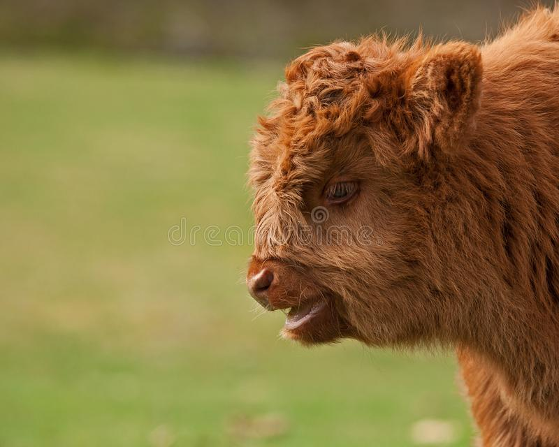 Four week calf of highland cattle. Three week old Highland cattle or kyloe in Sweden are an ancient Scottish breed of beef cattle with long horns and long wavy stock image