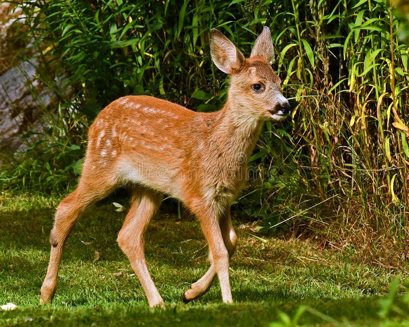 Four weeks young wild Roe deer, Capreolus capreolus royalty free stock photos