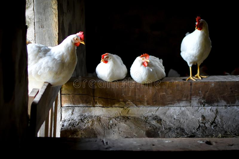 Four White Chickens Standing in Barn royalty free stock image